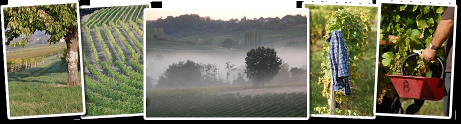le travail à la vigne, nos récolte, nos vignes, notre savoir faire