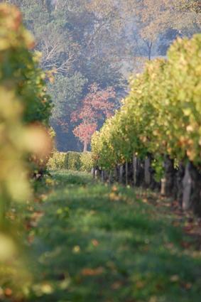 Les vignes du château du tertre de pezelin