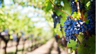 Nos vins du bordeaux au loupiac licoureux